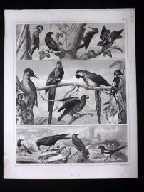 Heck 1849 Antique Bird Print. Macaw, Parrot, Woodpecker, Magpie